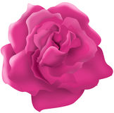Single Pink rose illustration Stock Images