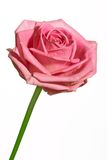 Single pink rose isolated Stock Photo