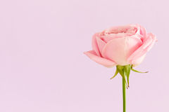 Single pink rose on light purple background Royalty Free Stock Image