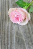 Single pink rose Royalty Free Stock Photos