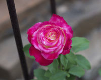 A single pink rose. Pictured is closeup view of a single beautiful pink rose.  There are more than a hundred species and thousands of cultivars Stock Photo