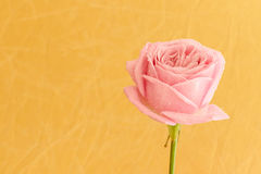 Single pink rose with water drops. On golden background - series Stock Images