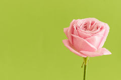 Single pink rose with water drops. On green background - series Stock Image