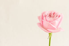 Single pink rose with water drops Royalty Free Stock Image