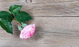 Lovely single pink rose for Mothers Day holiday on rustic wooden Stock Photo