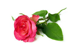 Single pink rose on white background. royalty free stock image