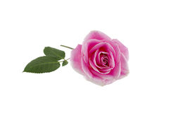 Single Pink Rose on White Royalty Free Stock Image