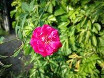 Single pink Rose royalty free stock photo