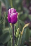 Single pink tulip in garden Stock Image