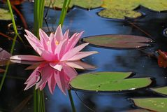 Single pink water-lily with its reflection Stock Photo