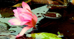 single pink water lily on the pond Royalty Free Stock Photo