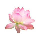 Single pink water lotus flower isolated on white background Royalty Free Stock Photos
