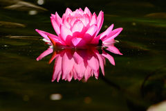 Single Pink Waterlily lotus flower with reflection Stock Photography