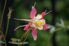 Single Pink and White Aquiligia. Single Pink and White Aquilegia Royalty Free Stock Photos