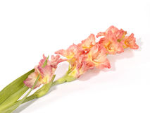 Single pink and white gladiola stem Royalty Free Stock Photos