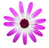 Single Pink White Mum Stock Photo