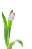 Single pink and white Triumph Playgirl tulip Royalty Free Stock Photos