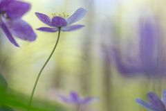 Single pink wild flower in soft focus royalty free stock photo