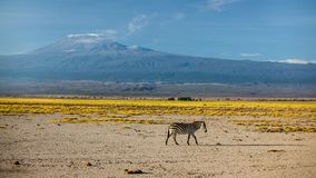 Single plains zebra Equus quagga, formerly Equus burchellii royalty free stock photos