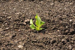 Single plant on dry earth Stock Photo