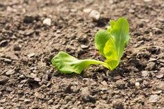 Single plant on dry earth Stock Photos