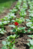 Single plant with flower in spring flowerbed. Royalty Free Stock Photos