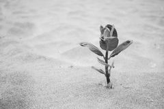 Single Plant Growing On Beach In Sand. Black and white photograph of a single plant growing through the sand on the beach Stock Photos