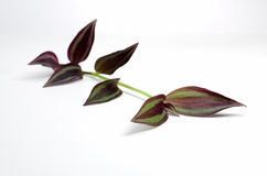 Single wandering jew stem purple leaves on white b Royalty Free Stock Image