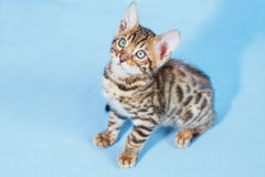Single playful brown spotted bengal kitten. On neutral blue background Stock Images