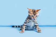 Single playful brown spotted bengal kitten. On neutral blue background Royalty Free Stock Images