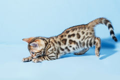 Single playful brown spotted bengal kitten. On neutral blue background Royalty Free Stock Photo