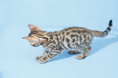 Single playful brown spotted bengal kitten. On neutral blue background Royalty Free Stock Photos