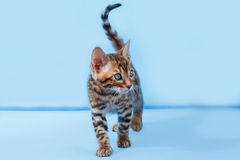 Single playful brown spotted bengal kitten. On neutral blue background Stock Photo