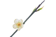 Single plum flower Royalty Free Stock Image