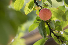 Single plum royalty free stock images