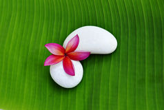 Single of Plumeria flower. Red Plumeria flower with a pair of white stone on green leaf Stock Images