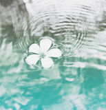 Single Plumeria Flower Floating on Clear Water Royalty Free Stock Image