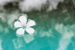 Single Plumeria Flower Floating on Water Stock Images