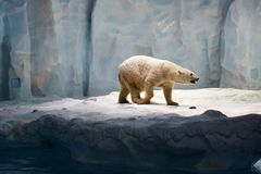 Polar bear. Single polar bear walking over ices stock photography