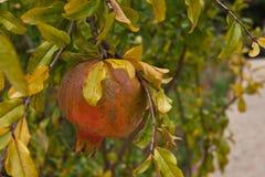 Single Pomegranate on Tree Stock Photos
