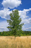 Single poplar Stock Images