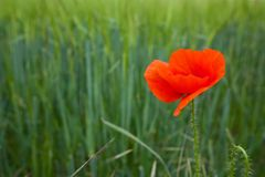 Single poppy Stock Photography
