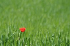 Single poppy. A lonely poppy seed in the field stock photo