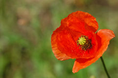Single poppy Stock Image