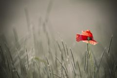 Single poppy on colorless background Royalty Free Stock Photos