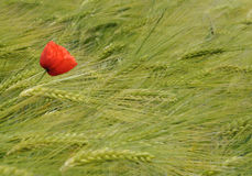 Single Poppy in Barley Field. One red poppy growing in a green field of barley. An expression - going against the grain Stock Image