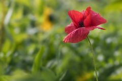 Single poppy in the field royalty free stock images