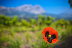 Single poppy in the field Stock Photography