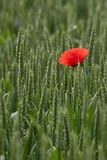 Single Poppy in a Field of Wheat. A red poppy stands alone in a field of wheat royalty free stock photography