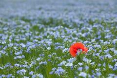 Single poppy in flax field Royalty Free Stock Photos